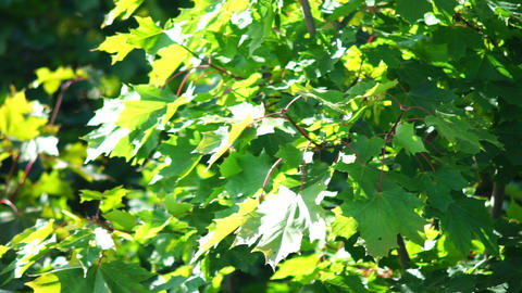 Maple tree leaves Stock Video Footage