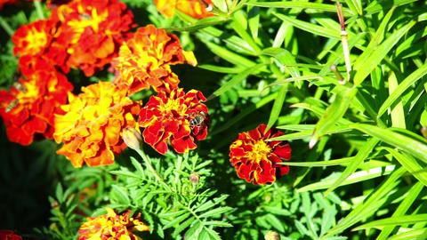 Orange marigold flowers Stock Video Footage