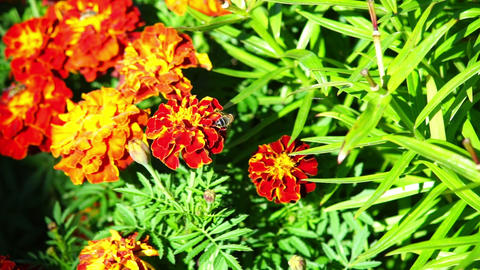 Orange marigold flowers Footage
