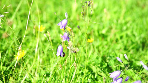 Bumble-bee inside harebell flower Footage