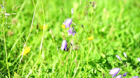 Bumble-bee inside harebell flower Stock Video Footage