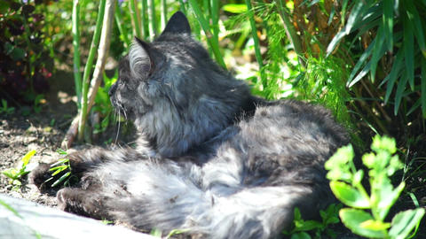 Grey Cat Lying In The Grass stock footage