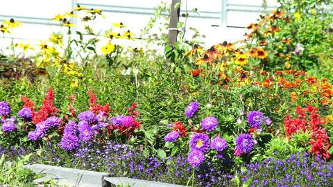 Purple flowers of flowerbed Footage