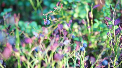 Bilberry bush Stock Video Footage