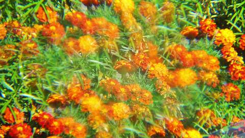 Orange marigold flowers with multiple image optica Stock Video Footage