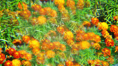 Orange marigold flowers with multiple image optica Footage
