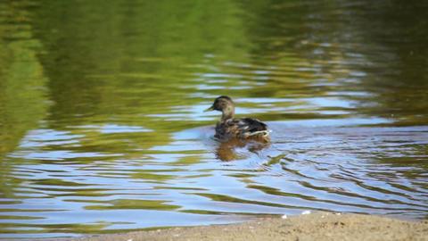 Ducks swim in the river Stock Video Footage
