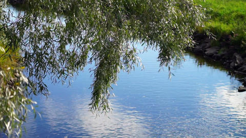 Willow near the river Stock Video Footage