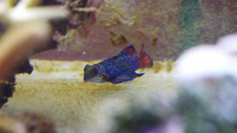 Mandarin fish in coral reef Footage