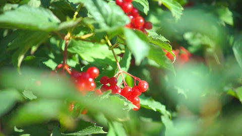 Guelder rose (Viburnum opulus) berries closeup Footage