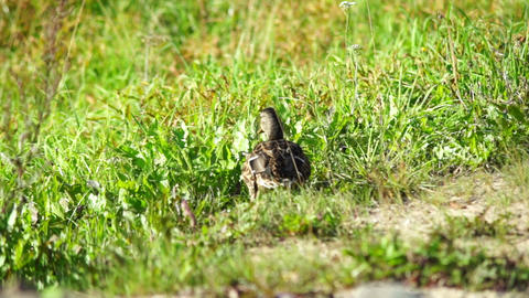 Duck walking and eating grass slow motion 60fps Stock Video Footage