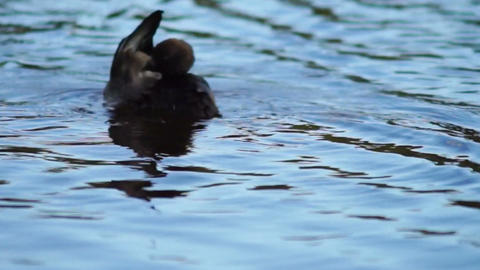 Dark Colored Duck Moving In River stock footage