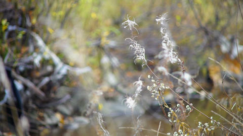 White willow-herbs in autumn forest Footage