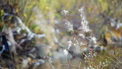 White willow-herbs in autumn forest Stock Video Footage