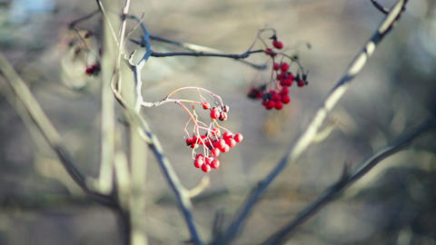 Field-ash tree with bright red berries Stock Video Footage