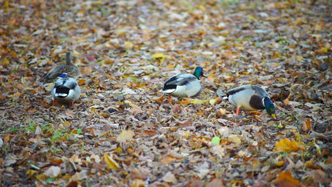 Ducks with green heads walking in autumn forest Footage