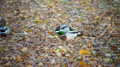 Ducks with green heads walking in autumn forest Stock Video Footage