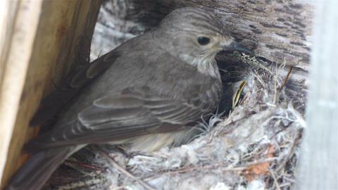Forest lark bird feeding nestlings in the nest, wi Stock Video Footage