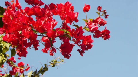 Branches of red delonix on sky background Stock Video Footage