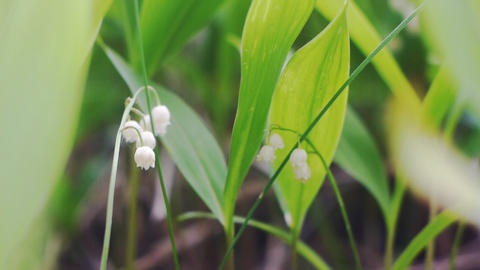 Lily of the valley (Convallária majális) flowers Stock Video Footage
