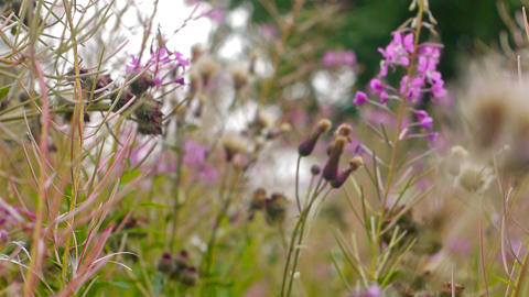 Fireweed flowers close-up hi-def video Stock Video Footage