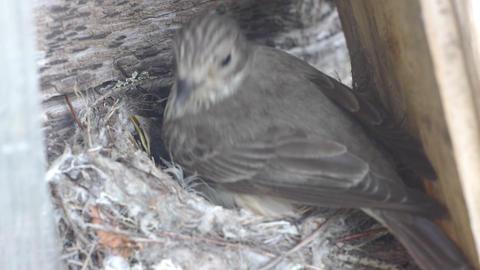 Forest lark nestlings in the nest Footage