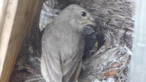 Forest lark nestlings in the nest Stock Video Footage