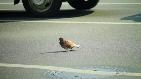 Brave city pigeon walking through roadway Footage
