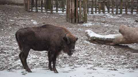 Bison walks under snowfall in the big open-air cag Footage