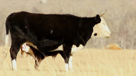 HD Motley Cow and Calf in the Autumn Steppe Footage