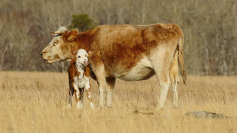 HD Red Cow with Calf at Sunny Day Against Yellow Grass Background Footage