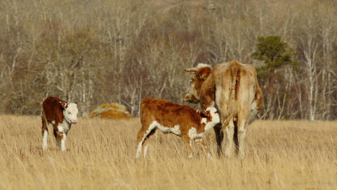 HD Red Cow With Calves In The Autumn Pasture At Sunny Day stock footage