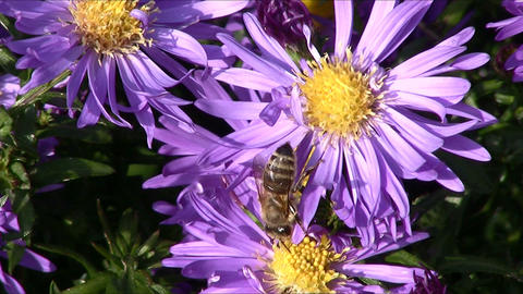 Bee and flower zoom in Stock Video Footage