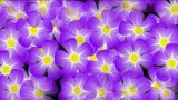 Purple Wild Flower Background,violet,flicker,Festivals,bloom,lush,prosperous,welcome,creativity,crea stock footage