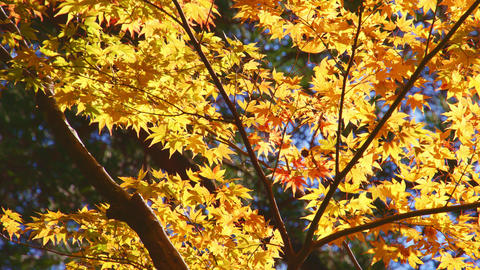 4K 紅葉 autumn Japan RAW Recording ライブ動画