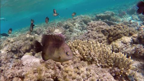 little brown reef fish among the seaweed Footage