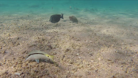 Fish Feeding On The Sandy Bottom Of The Red Sea, E stock footage