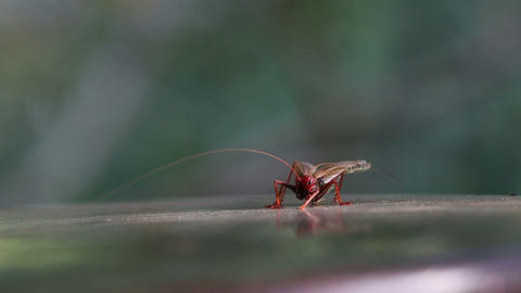 Red Locust Sitting On Table stock footage