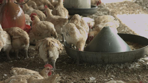 Chicken In The Farm stock footage