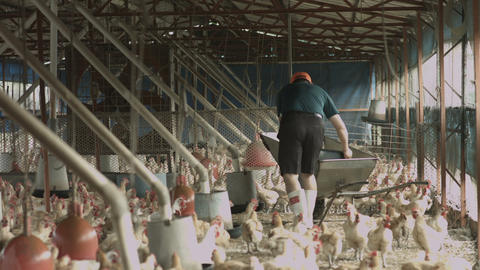 chicken in the farm Footage