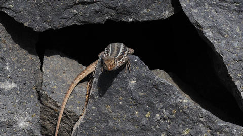 1080p, Beautiful Lizzard Sitting Between Stones Of stock footage
