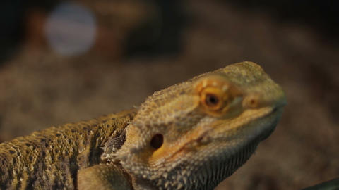 Bearded Dragon Reptile Footage
