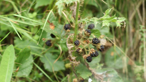 Blackberry Berries in Forest Footage