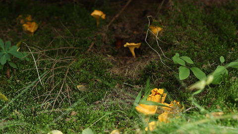 Chanterelle Mushrooms Footage