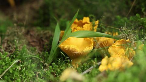 Chanterelle Mushroom stock footage