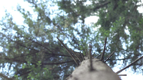 Coniferous Trunk View Footage