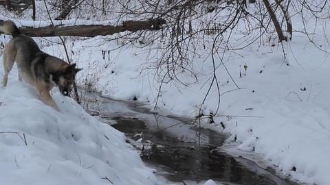 Dog near Snowy River Footage