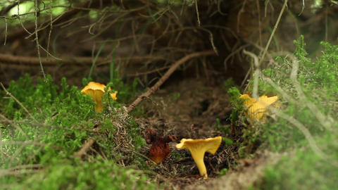 Forest Chanterelle Mushrooms Footage