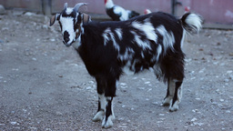 Goat in Countryside Farm Footage