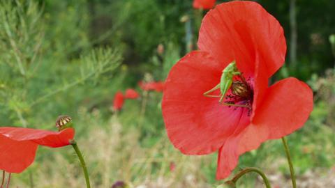 Grasshopper on Poppy Flower Footage